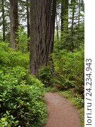 Купить «Лес Редвуд, Калифорния, США», фото № 24234943, снято 25 января 2013 г. (c) Алексей Кокоулин / Фотобанк Лори
