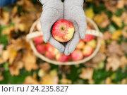 Купить «woman with basket of apples at autumn garden», фото № 24235827, снято 12 октября 2016 г. (c) Syda Productions / Фотобанк Лори
