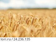 Купить «cereal field with spikelets of ripe rye or wheat», фото № 24236135, снято 31 июля 2016 г. (c) Syda Productions / Фотобанк Лори