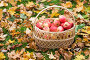 wicker basket of ripe red apples at autumn garden, фото № 24236231, снято 12 октября 2016 г. (c) Syda Productions / Фотобанк Лори