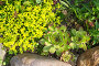 Молодило (лат. Sempervivum) и Очиток  едкий (лат. Sedum acre) на клумбе, эксклюзивное фото № 24238999, снято 18 июня 2016 г. (c) Елена Коромыслова / Фотобанк Лори