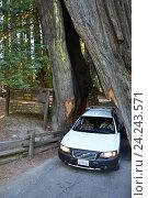 Купить «Калифорния, национальный парк REDWOODS», фото № 24243571, снято 17 августа 2013 г. (c) Алексей Кокоулин / Фотобанк Лори