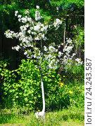 Купить «Цветущая вишня», фото № 24243587, снято 14 мая 2016 г. (c) Зобков Георгий / Фотобанк Лори