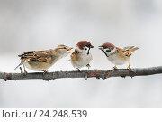 Купить «Три воробья спорят на ветке, махая крыльями», фото № 24248539, снято 14 ноября 2016 г. (c) Бачкова Наталья / Фотобанк Лори