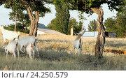 Купить «Белые козы под деревьями», видеоролик № 24250579, снято 19 марта 2014 г. (c) Курганов Александр / Фотобанк Лори