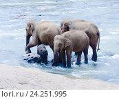 Купить «Семья азиатских слонов стоит в реке», фото № 24251995, снято 2 ноября 2009 г. (c) Эдуард Паравян / Фотобанк Лори