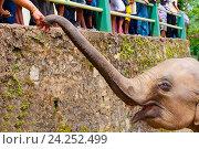 Маленький азиатский слон тянет хобот к человеческой руке, фото № 24252499, снято 2 ноября 2009 г. (c) Эдуард Паравян / Фотобанк Лори