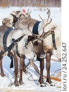 Купить «Reindeers in harness», фото № 24252647, снято 25 февраля 2012 г. (c) Владимир Мельников / Фотобанк Лори