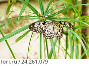 Купить «Красивая тропическая бабочка Идея белая (Рисовая бумага) или Лесная Нимфа (лат. Idea leuconoe) на зонтике Сыти или Ситовника, или Циперуса (лат. Cyperus)», фото № 24261079, снято 11 июня 2016 г. (c) Наталья Гармашева / Фотобанк Лори