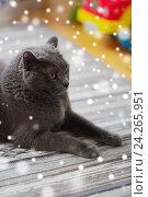 Купить «close up of british shorthair cat at home», фото № 24265951, снято 19 марта 2016 г. (c) Syda Productions / Фотобанк Лори