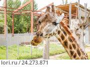 Купить «Жираф Ротшильда (Giraffa camelopardalis rothschildi) жует траву в зоопарке Ростова-на-Дону», фото № 24273871, снято 13 июля 2015 г. (c) Алёшина Оксана / Фотобанк Лори