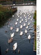 """Парад"" лебедей. Город Кингстон на Темзе, Англия (2016 год). Стоковое фото, фотограф Борис Сунцов / Фотобанк Лори"