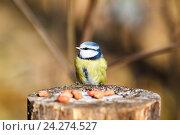 Купить «Лазоревка обыкновенная. Blue tit (Parus caeruleus).», фото № 24274527, снято 24 октября 2010 г. (c) Василий Вишневский / Фотобанк Лори