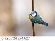 Купить «Лазоревка обыкновенная. Blue tit (Parus caeruleus).», фото № 24274627, снято 1 марта 2014 г. (c) Василий Вишневский / Фотобанк Лори