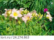 """Купить «Лилейник сорта """"Леди Лиз"""" (лат. Hemerocаllis Lady Liz) в саду», эксклюзивное фото № 24274863, снято 24 июля 2016 г. (c) Елена Коромыслова / Фотобанк Лори"""