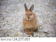 Купить «Декоративный карликовый кролик», фото № 24277051, снято 22 ноября 2016 г. (c) Галина Савина / Фотобанк Лори