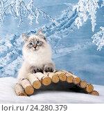 Купить «Сибирский Невский Маскарадный котенок в зимнем лесу», фото № 24280379, снято 27 октября 2016 г. (c) ElenArt / Фотобанк Лори