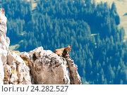 Купить «Дикая горная коза на скале в горах. Альпы, Швейцария», фото № 24282527, снято 20 сентября 2014 г. (c) Сергей Лабутин / Фотобанк Лори