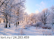 Купить «Winter landscape of frosty trees in winter forest in the morning. Winter landscape with snowy winter trees», фото № 24283459, снято 21 февраля 2019 г. (c) Зезелина Марина / Фотобанк Лори