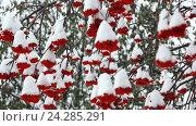 Ягоды рябины на ветвях зимой. Стоковое видео, видеограф Антон  Черственков / Фотобанк Лори