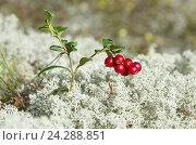 Купить «Спелые ягоды брусники (лат. Vaccinium vitis-idaea) на фоне ягеля», эксклюзивное фото № 24288851, снято 8 августа 2016 г. (c) Елена Коромыслова / Фотобанк Лори