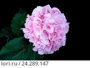 Купить «Гортензия розовая на черном фоне», эксклюзивное фото № 24289147, снято 1 августа 2015 г. (c) Blekcat / Фотобанк Лори