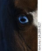 Купить «Американская миниатюрная лошадь с голубыми глазами», фото № 24289827, снято 22 января 2016 г. (c) Абрамова Ксения / Фотобанк Лори