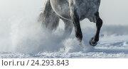 Ноги скачущей серой лошади в снежной пыли. Стоковое фото, фотограф Абрамова Ксения / Фотобанк Лори