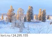 Купить «Покрытые инеем деревья при утреннем солнце. Ямало-Ненецкий автономный округ», фото № 24295155, снято 30 ноября 2016 г. (c) Григорий Писоцкий / Фотобанк Лори