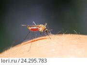 Противный комар пьет кровь, сидя на руке. Стоковое фото, фотограф Бачкова Наталья / Фотобанк Лори