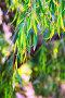 Closeup of jarrah leaves, фото № 24296963, снято 1 декабря 2016 г. (c) Яков Филимонов / Фотобанк Лори