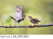 Купить «Две забавные сердитые птички машут перьями и спорят на ветке в парке весной», фото № 24299583, снято 22 августа 2016 г. (c) Бачкова Наталья / Фотобанк Лори