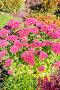 Очиток видный (Sedum spectabile). Цветущий куст на клумбе, фото № 24301927, снято 8 октября 2015 г. (c) Евгений Мухортов / Фотобанк Лори