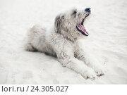 Купить «Белый лохматый пес лежит на песке», фото № 24305027, снято 22 февраля 2020 г. (c) Илюхин Илья / Фотобанк Лори