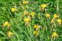 Желтые бородатые ирисы (лат. Iris barbatus), фото № 24306851, снято 18 июня 2016 г. (c) Елена Коромыслова / Фотобанк Лори