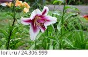 Купить «lily varietal white and pink colors», видеоролик № 24306999, снято 20 июля 2016 г. (c) Володина Ольга / Фотобанк Лори
