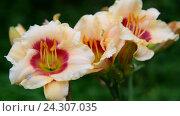 Купить «Beautiful bright yellow varietal daylily», видеоролик № 24307035, снято 20 июля 2016 г. (c) Володина Ольга / Фотобанк Лори