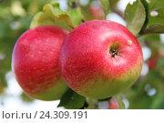 Красные яблоки на ветке. Стоковое фото, фотограф MARINA EVDOKIMOVA / Фотобанк Лори