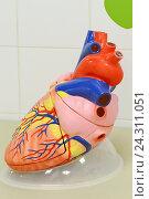 Макет сердца. Пособие. Стоковое фото, фотограф Наталья Уварова / Фотобанк Лори