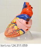 Сердце. Анатомическая модель. Стоковое фото, фотограф Наталья Уварова / Фотобанк Лори