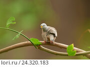 Купить «Peru little doves, Columbina cruziana, branch, sit, view camera», фото № 24320183, снято 12 января 2016 г. (c) mauritius images / Фотобанк Лори