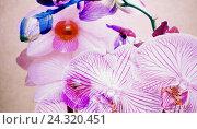 Купить «Orchids, blossoming», фото № 24320451, снято 2 апреля 2016 г. (c) mauritius images / Фотобанк Лори