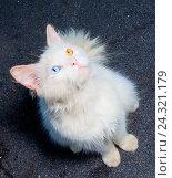Белый кот с разным цветом глаз смотрящий вверх. Стоковое фото, фотограф Сергей Васильев / Фотобанк Лори