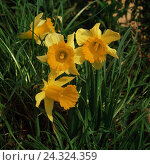 Купить «Meadow, narcissi, yellow, Narcissus pseudonarcissus, daffodils, daffodil, narcissus, flower, amaryllis plants, flower, blossoms, blossom, blossom, plant...», фото № 24324359, снято 16 июля 2018 г. (c) mauritius images / Фотобанк Лори