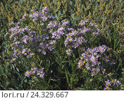 Купить «Beach aster, salt aster, aster tripolium nature, botany, flora, plants, flowers, Asteraceae, Köpfchenblüter, composites, autumn flower, wild flower, blossoms, blossom, mauve, salt plants, meadow», фото № 24329667, снято 22 сентября 2005 г. (c) mauritius images / Фотобанк Лори