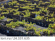 Купить «Viticulture with Haria, Lanzarote, Canary islands, Spain», фото № 24331635, снято 27 ноября 2013 г. (c) mauritius images / Фотобанк Лори
