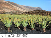 Купить «Aloe Vera Plantage with Orzola, close Haria, Lanzarote, Canary islands, Spain», фото № 24331687, снято 27 ноября 2013 г. (c) mauritius images / Фотобанк Лори