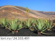 Купить «Aloe Vera Plantage with Orzola, close Haria, Lanzarote, Canary islands, Spain», фото № 24333491, снято 27 ноября 2013 г. (c) mauritius images / Фотобанк Лори