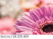 Купить «Pink coloured gerbera in the morning light, blossom with rope glitters overcast in the sunlight, medium close-up», фото № 24335459, снято 4 октября 2014 г. (c) mauritius images / Фотобанк Лори