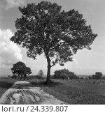 Купить «Einsamer Baum in der Umgebung von Nikolaiken in Masuren in Ostpreußen, Deutschland 1930er Jahre. Lonesome tree in the surrounding of Nikolaiken in Masuria in East Prussia, Germany 1930s.», фото № 24339807, снято 19 июля 2018 г. (c) mauritius images / Фотобанк Лори